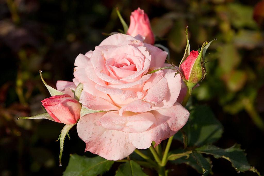 Прекрасная роза, испокон веков считается королевой сада, величаво возвышаясь над всеми цветами, она считается лучшим цветком для подарка независимо от повода и возраста получателя