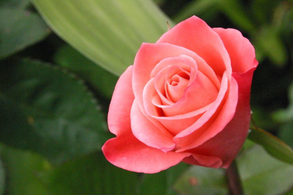 Прекрасные розы, различных форм и расцветок, станут украшением любого дома, доставляя хорошее настроение своим непревзойдённым видом и сладостным запахом