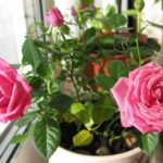 Розы и уход за ними
