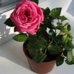 Выращивание миниатюрной розы в домашних условиях
