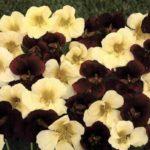 День и ночь – цветы контрастной окраски