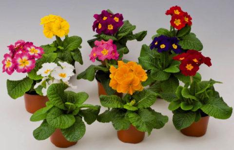 Гибридные сорта примул отличаются от традиционных необычной окраской и размером цветков