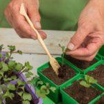 Пикирование растений в отдельные стаканчики