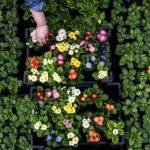 Разные сорта зацветают в разное время, что можно использовать, приурочивая цветение к разным датам