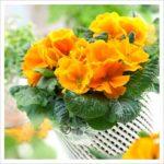 Salome Orange Sun