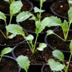 В этом возрасте капусту уже можно высаживать в открытый грунт