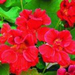 Вишневая роза - махровый вид