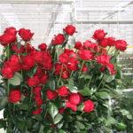 Формирование букетов из роз