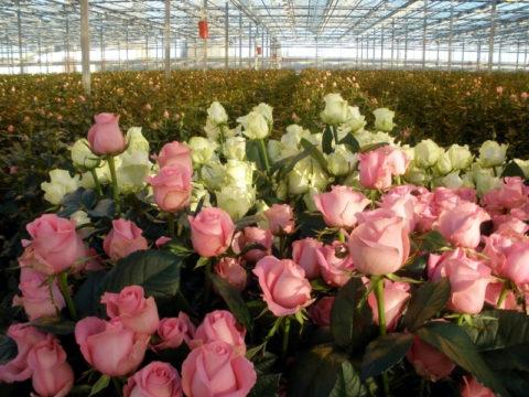 Красивые розы в теплице