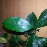 Листья каламондина