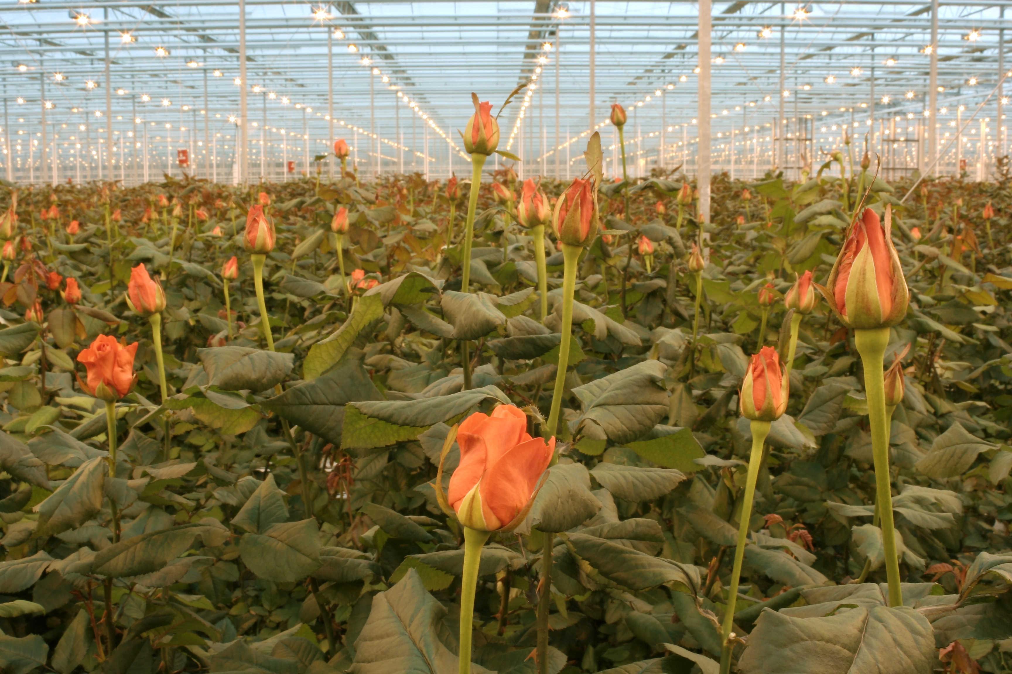 как растет роза фото континентальной