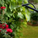 Подкормка роз кальциевой селитрой