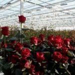 Размеры теплицы при выращивании роз