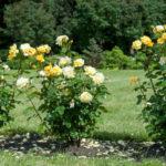 Высадка кустов роз