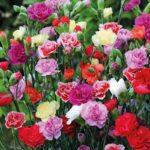 Садовая гвоздика – яркое украшение участка