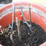 Выращивание актинидии из черенков в грунте