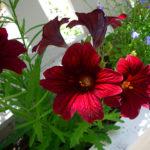 Ароматные цветы на террасе