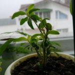 Молодое растение из черенка