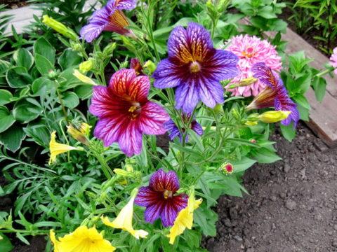 Сальпиглоссис любит влажную и рыхлую почву