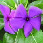 Сине-фиолетовый Блуберри