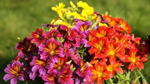 Солнечные цветы сальпиглоссиса