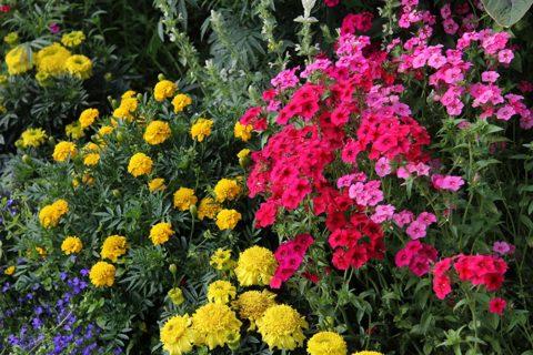 Флоксы хорошо соседствуют и прекрасно смотрятся в композиции с другими цветами