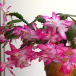 Розовый декабрист на пике цветения