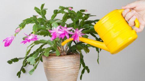Варианты по уходу за цветком декабристом, разновидности и способы размножения