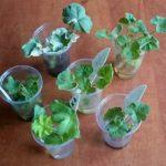 Чтобы не перепутать сорта, проращивайте черенки в разных емкостях