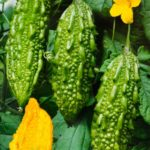Молодые зеленцы