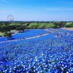 Поле синих цветов ассоциируется с морем