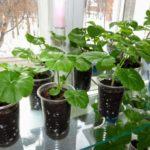 Рассаженные растения быстро трогаются в рост