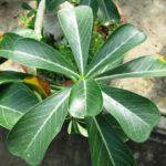 Листья формой напоминают лопасти вентилятора