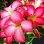 Цветы Адениума тучного
