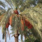 В природе пальмы вырастают до 30 метров