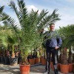 В условиях оранжереи или зимнего сада реально вырастить пальму высотой 3-4 метра