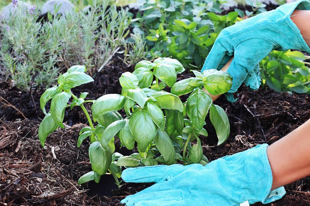 Чтобы часто не рыхлить землю, посадки можно замульчировать