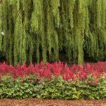 Астильбы на фоне деревьев