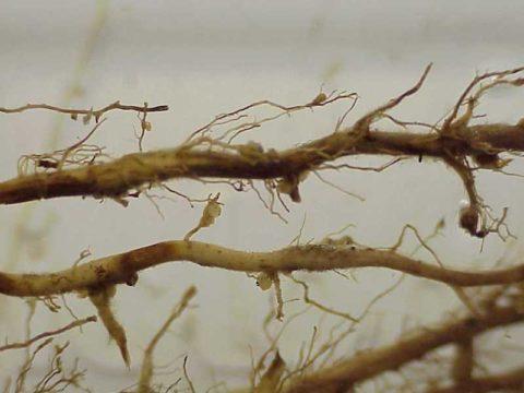 Корни, пораженные галловой нематодой