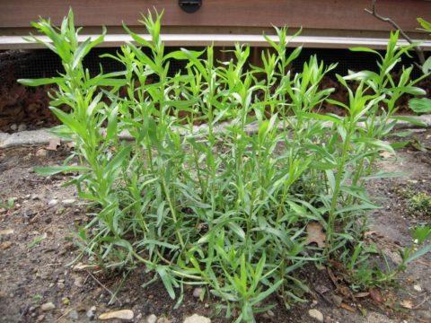 Наиболее подходящие почвы для выращивания тархуна - супесчаные