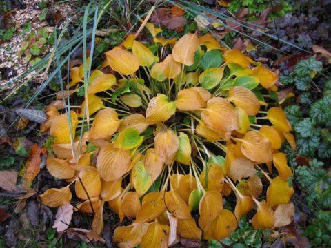 Отмирающая листва после заморозков