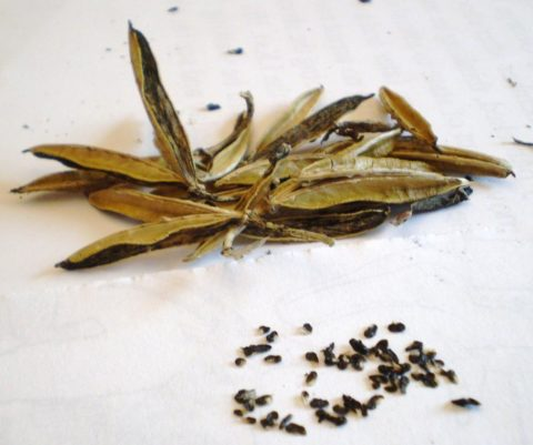 Семена хосты