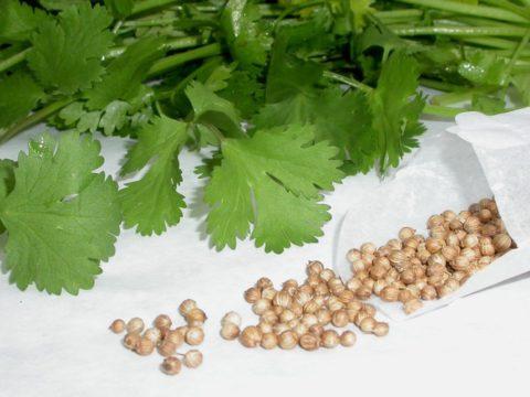 Зелень и семена кориандра