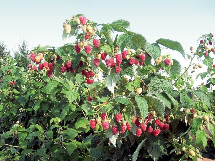 Залог хорошего урожая – правильный уход