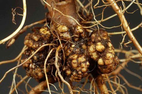 Корневой рак и зобоватость корней
