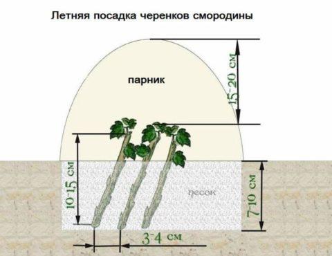 Схема размножения черенками