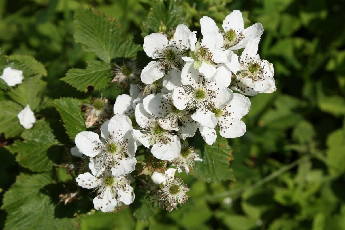цветок малины фото неприхотливые однолетние многолетние
