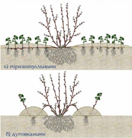 Варианты размножения отводками