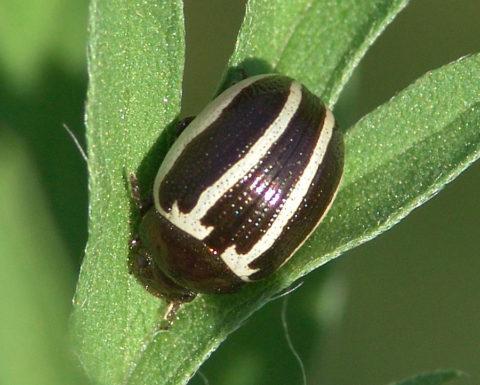 Амброзиевый листоед внешне похож на колорадского жука