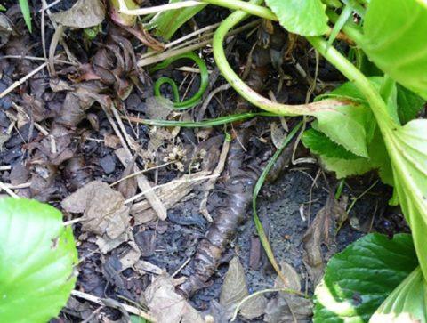 Черенки срезают, не выкапывая растение, отделяя от него розетку с расположенным на поверхности корневищем